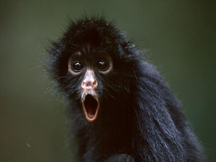 spider-monkey_719_990x742