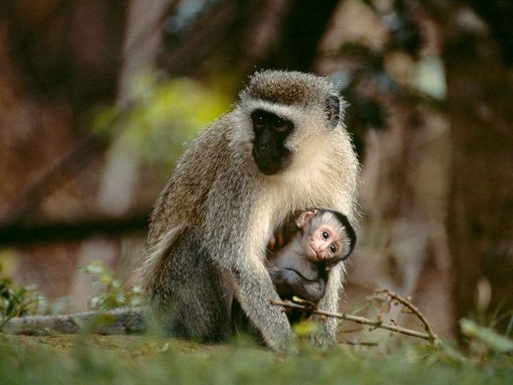 vervet-monkey_6458_990x742