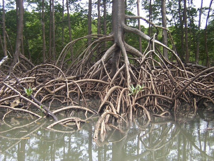 Aerial-roots-of-red-mangrove-on-an-Amazonian-river