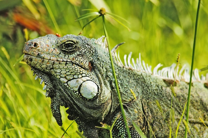Amazonian-Godzilla-in-my-garden