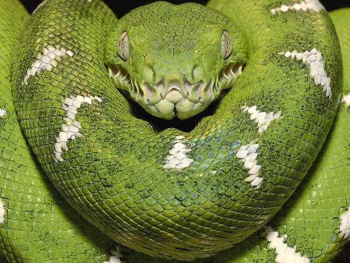Emerald-boa-Amazon-Equador