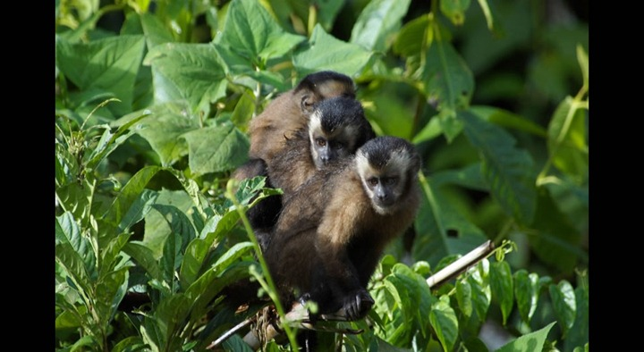 Monkeys-hanging-out-in-the-Amazonian-jungle