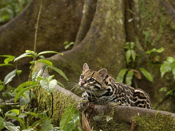 Ocelot-Amazon-Rainforest-Ecuador