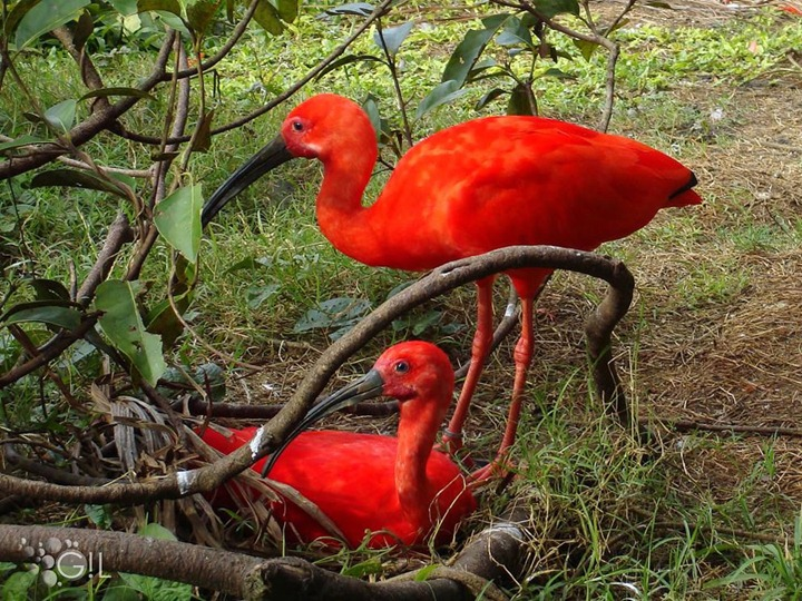 Tupi-red-bird-also-known-as-the-scarlet-ibis-one-of-the-most-beautiful-Brazilian-birds-because-of-the-color-of-their-plumage