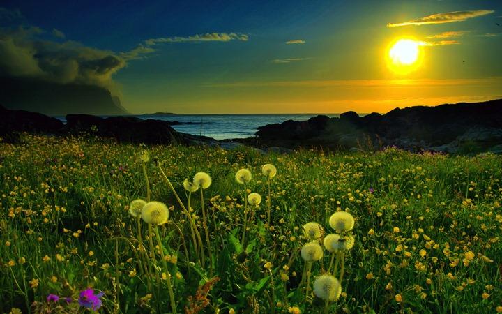 Dendelions-in-sunset