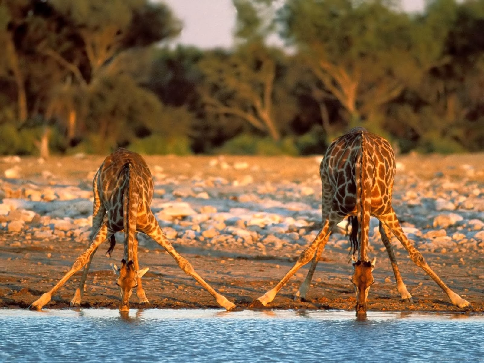 «Башни» Африки - интересная статья о жирафах!