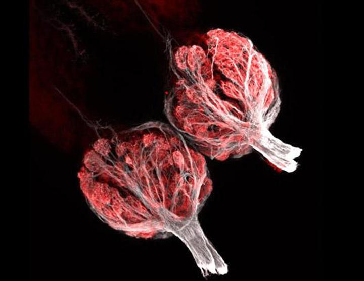 Это занявшее третье место изображение обонятельных луковиц рыбы увеличенное в 250 раз было представлено Oliver Braubach