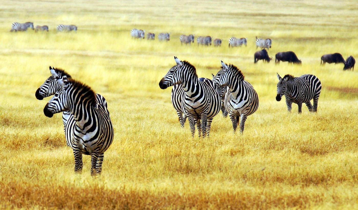 Почему зебры черно-белые?